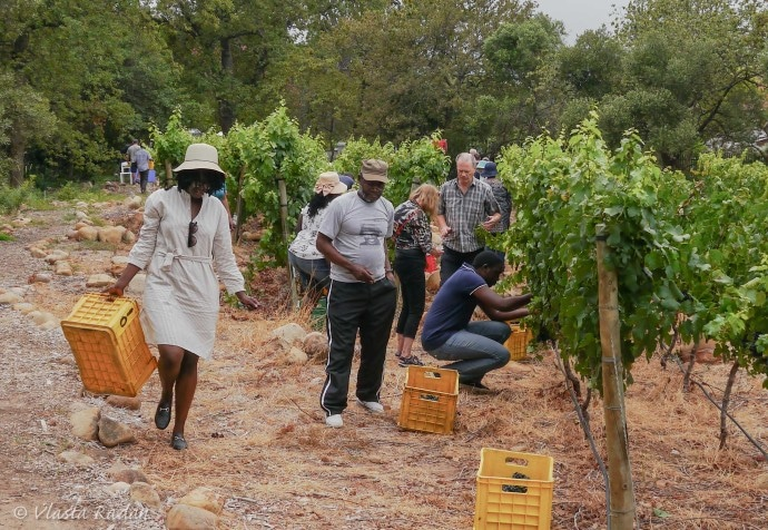 GrapePicking_STIAS_Stellenbosch_2019_s12