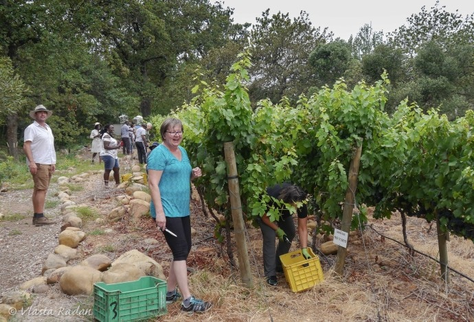GrapePicking_STIAS_Stellenbosch_2019_s3